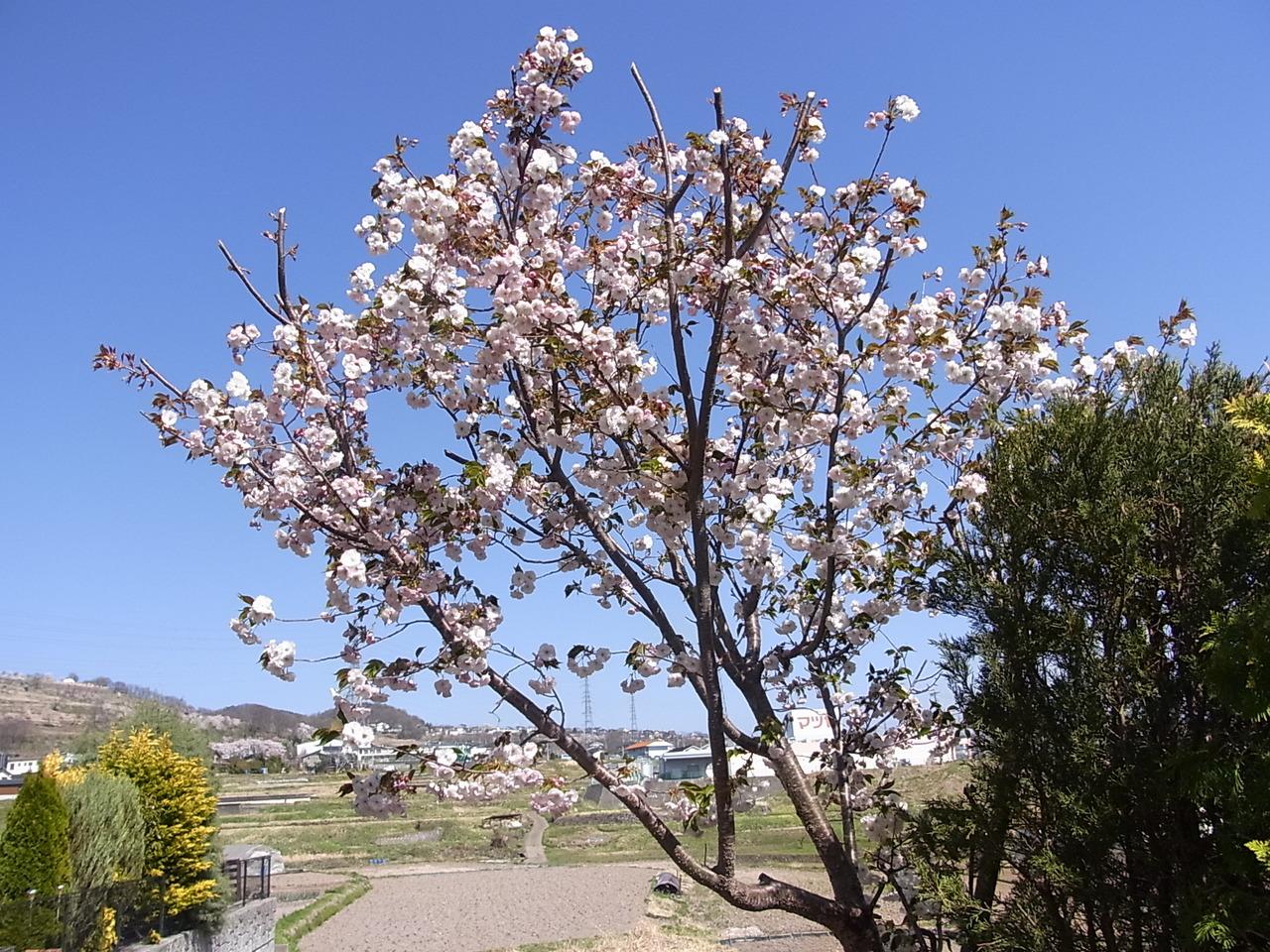 庭先は春には桜、バラが咲き綺麗です。
